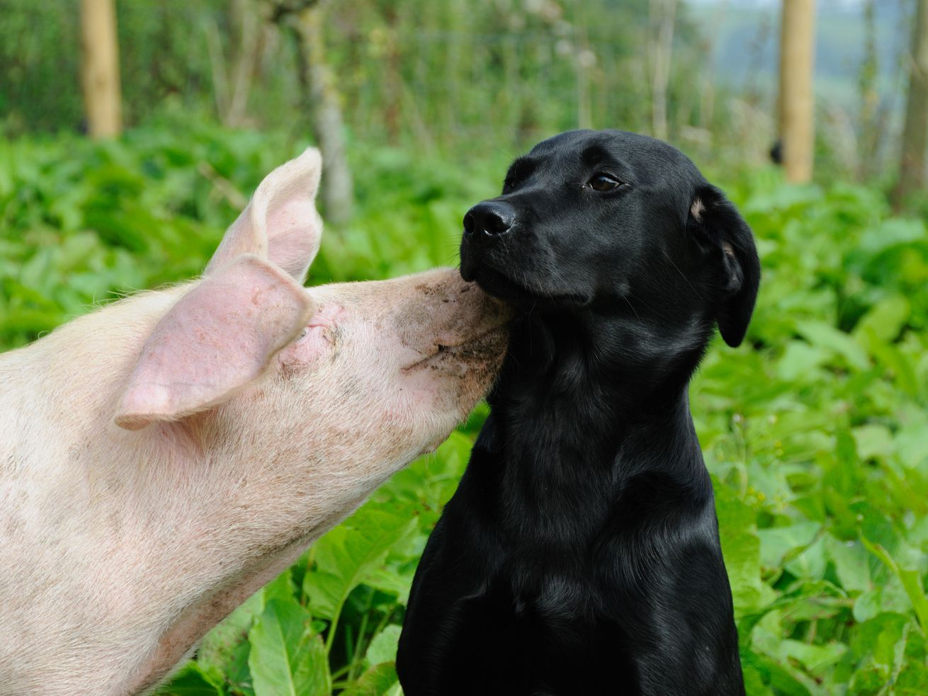 A pig kissing a black Labrador outdoors.