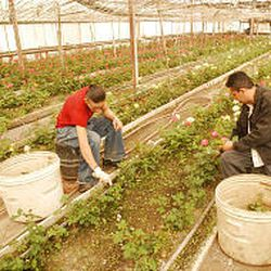Emilio, right, and Julian Prado cut back young rosebushes at Bluffdale Flowers in Bluffdale. The greenhouses at the nursery are heated by pipes carrying geothermal waterpumped from deep below the ground.