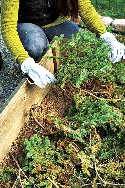 Person using branches from an old Christmas Tree to insulate perennials in a planter box.