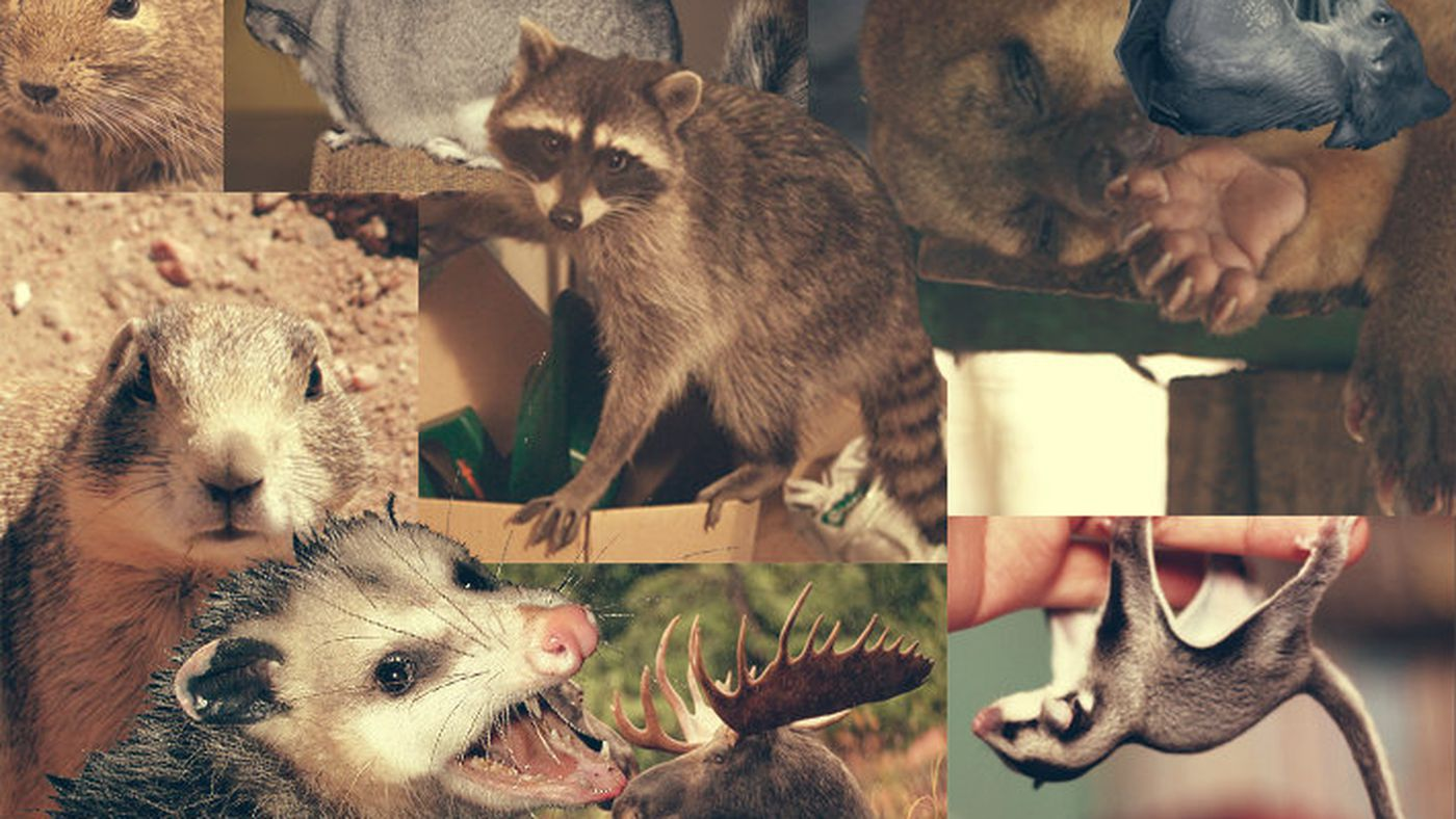 The 25 worst mammals to keep as pets - Vox