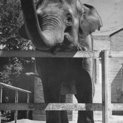 Kaili, a Hogle Zoo elephant in its zoo home in 1959.