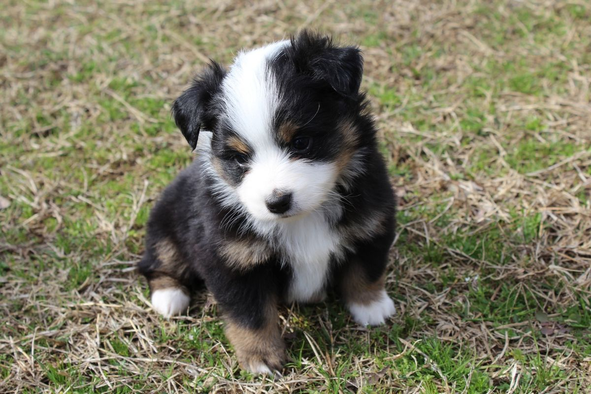 Mini Australian Shepherds Have Gotten Very Very Popular Vox