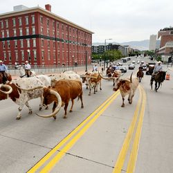 A group including Gov. Spencer Cox and first lady Abby Cox drive a small herd of Texas longhorn cattle along North Temple toward the Utah State Fairpark in Salt Lake City on Monday, July 19, 2021.The drive was held to celebrate the return of the Days of '47 Cowboy Games and Rodeo.