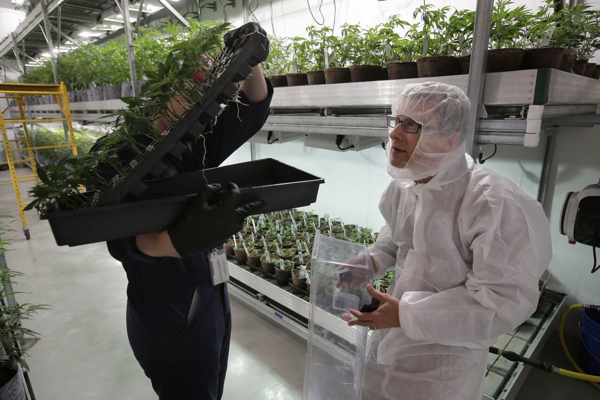 Mark Vlahos, head grower at Sira Naturals Inc., Mark, left obscured behind plant tray, and Michael Dundas, right, the company's CEO, examine cannabis plants on Thursday, July 12, 2018, at the Sira Naturals medical marijuana cultivation facility in Milford