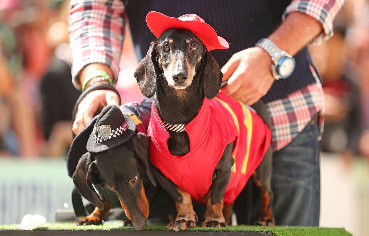 Annual Dachshund Race Celebrates Start Of Oktoberfest In Australia