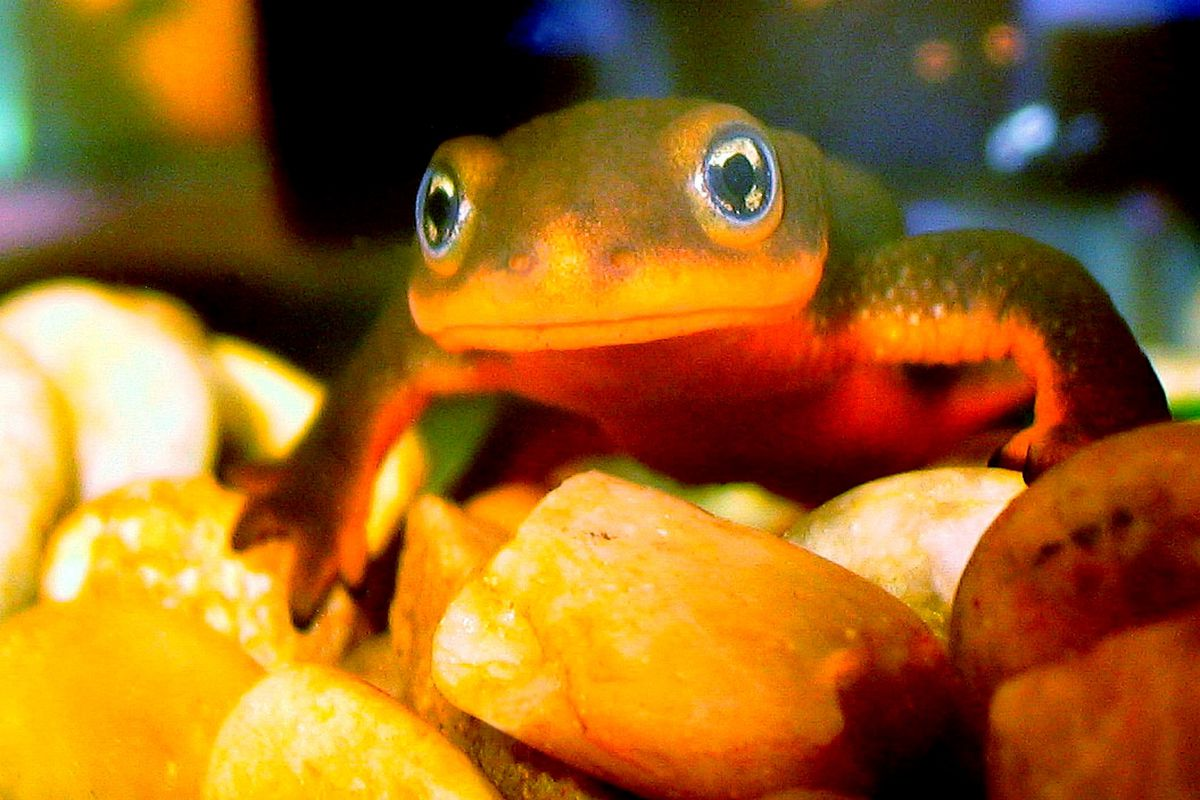 A rough-skinned newt. (All newts are salamanders.)