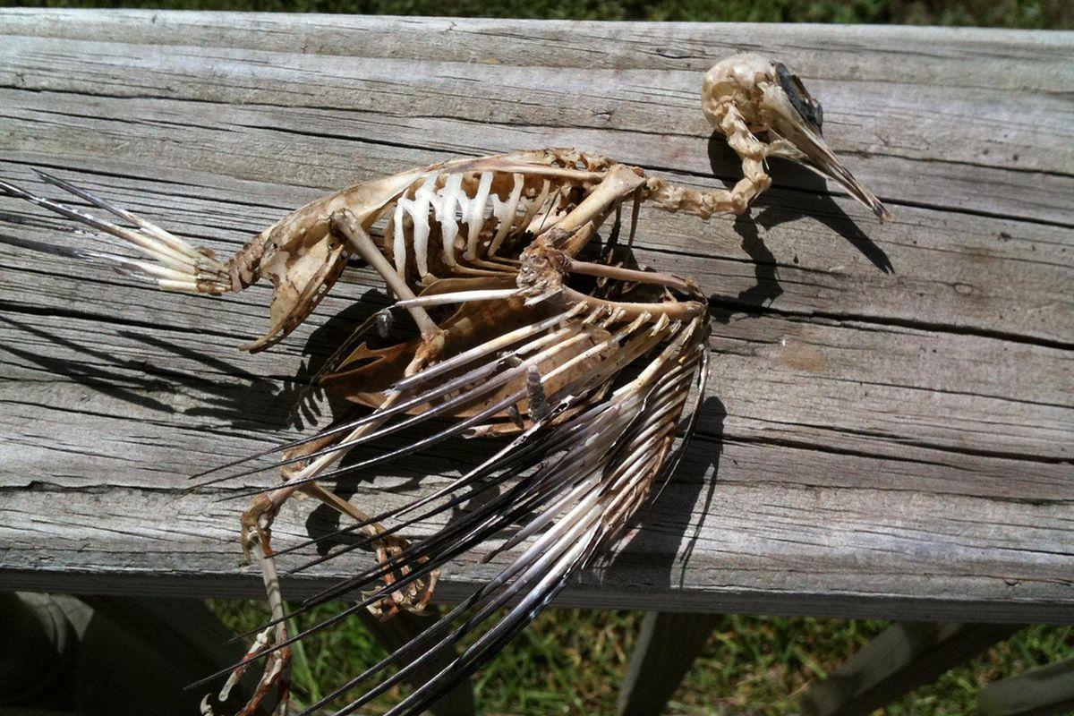 dead bird skeleton