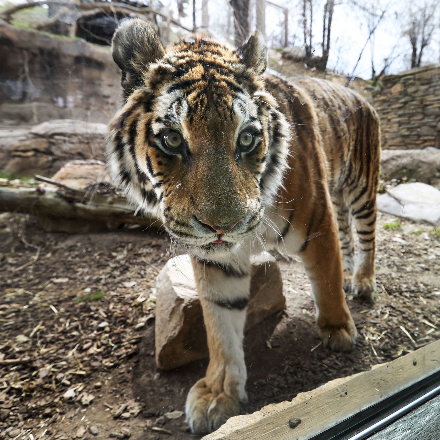 Hogle Zoo Taking Coronavirus Precautions With Lions Tigers Deseret News