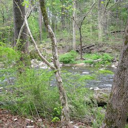 Ramps grow near a water source
