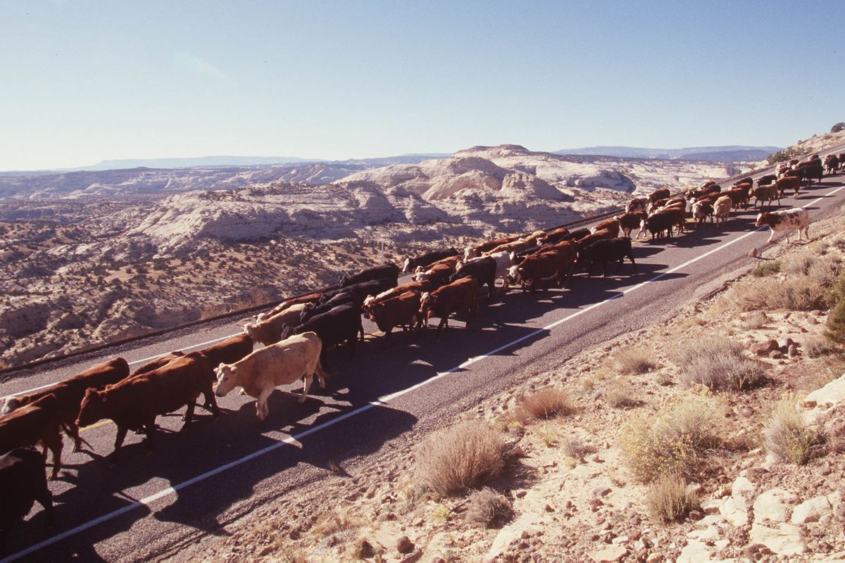 Cattle are moved along the roadway between Boulder and Escalante within the Grand Stair Case National Monument .