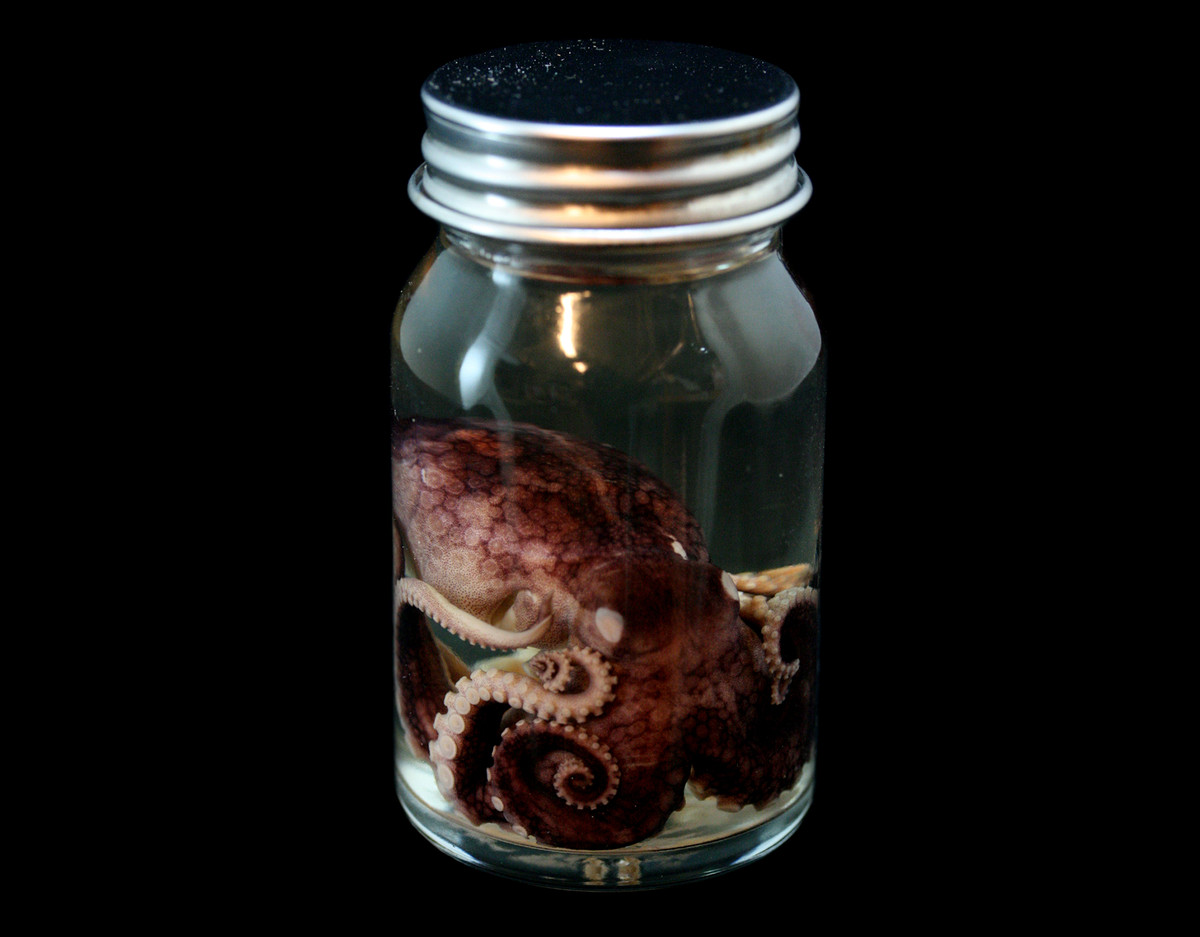 A preserved octopus in a jar of liquid. The tentacles and head of the octopus are visible. The jar has a metallic silver lid.