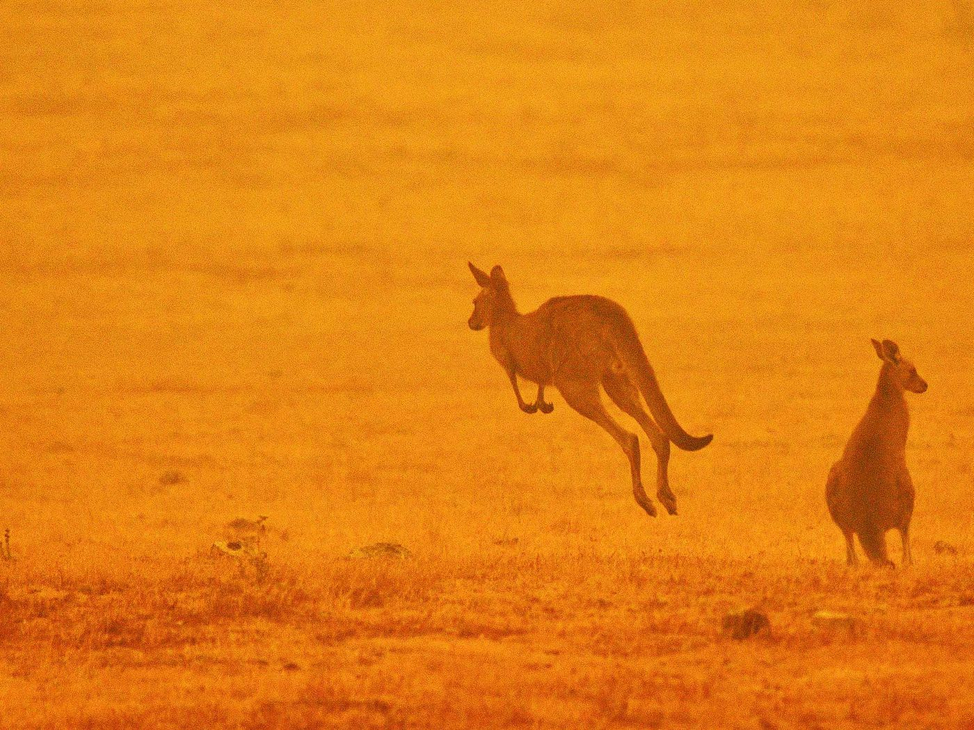 How many animals died in Australia fires? 1 billion, experts estimate. - Vox