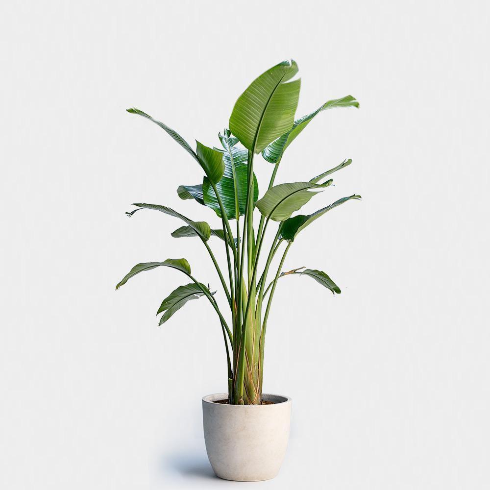 Bird Of Paradise Plant And Ivory Fiberstone Egg Pot 355 Greenery Nyc