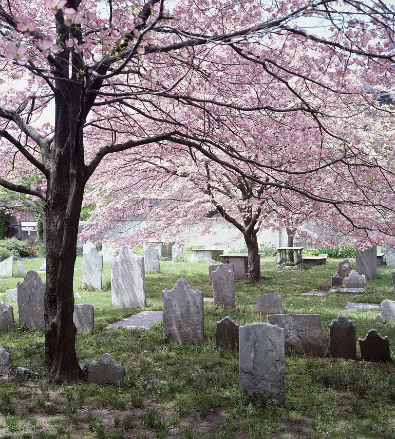 Old Pine Cemetery in Philadelphia. There are multiple tombstones under a tree that has pink blossoms.