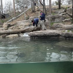 Cat keepers Christy Ruff, top, Michelle Olandese and Kelsey Middleton, right, wear masks and gloves as they as they clean an enclosure belonging to Nikolai, a Amur tiger, at Utah's Hogle Zoo in Salt Lake City on Monday, April 6, 2020. The keepers are wearing new protective gear after it was discovered a tiger at the Bronx Zoo in New York tested positive for COVID-19.