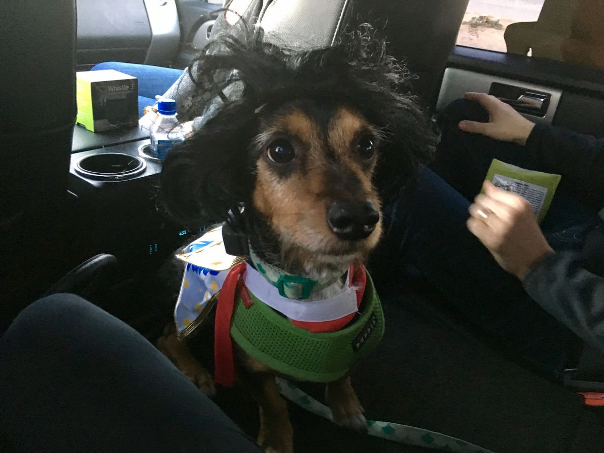 Whistle CEO Ben Jacobs's dog, Duke, wearing an Elvis costume and the latest iteration of the company's pet tracker. (Alyssa Bereznak)