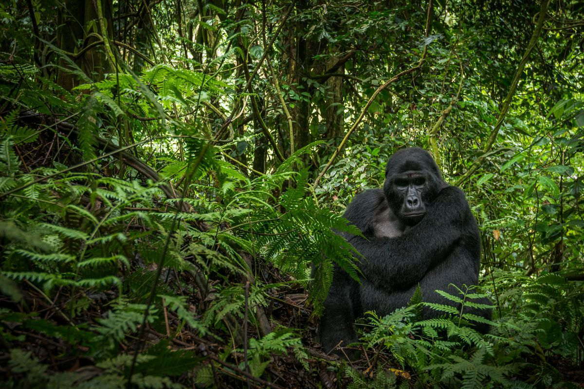 A mountain gorilla surrounded by trees.