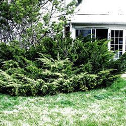 Now S The Time To Prune Junipers Deseret News