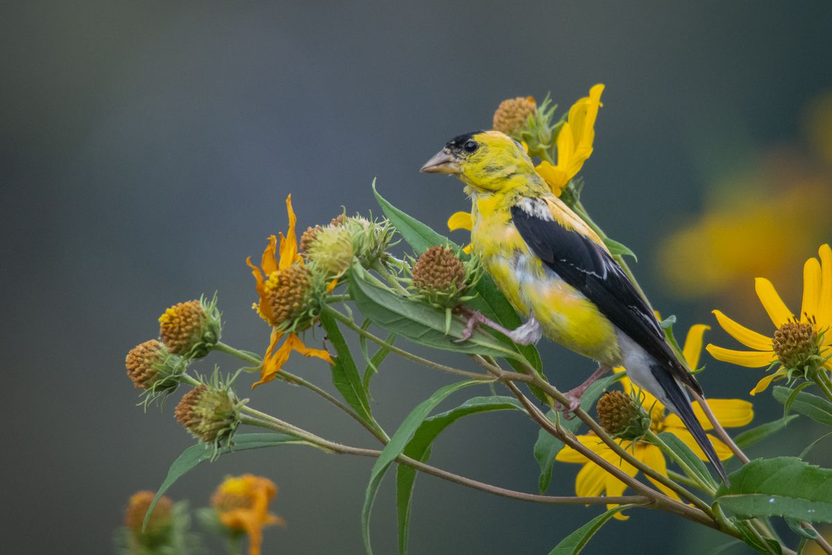 An American goldfinch in a field at Little Red Schoolhouse Nature Center. Credit: Mark Kasick
