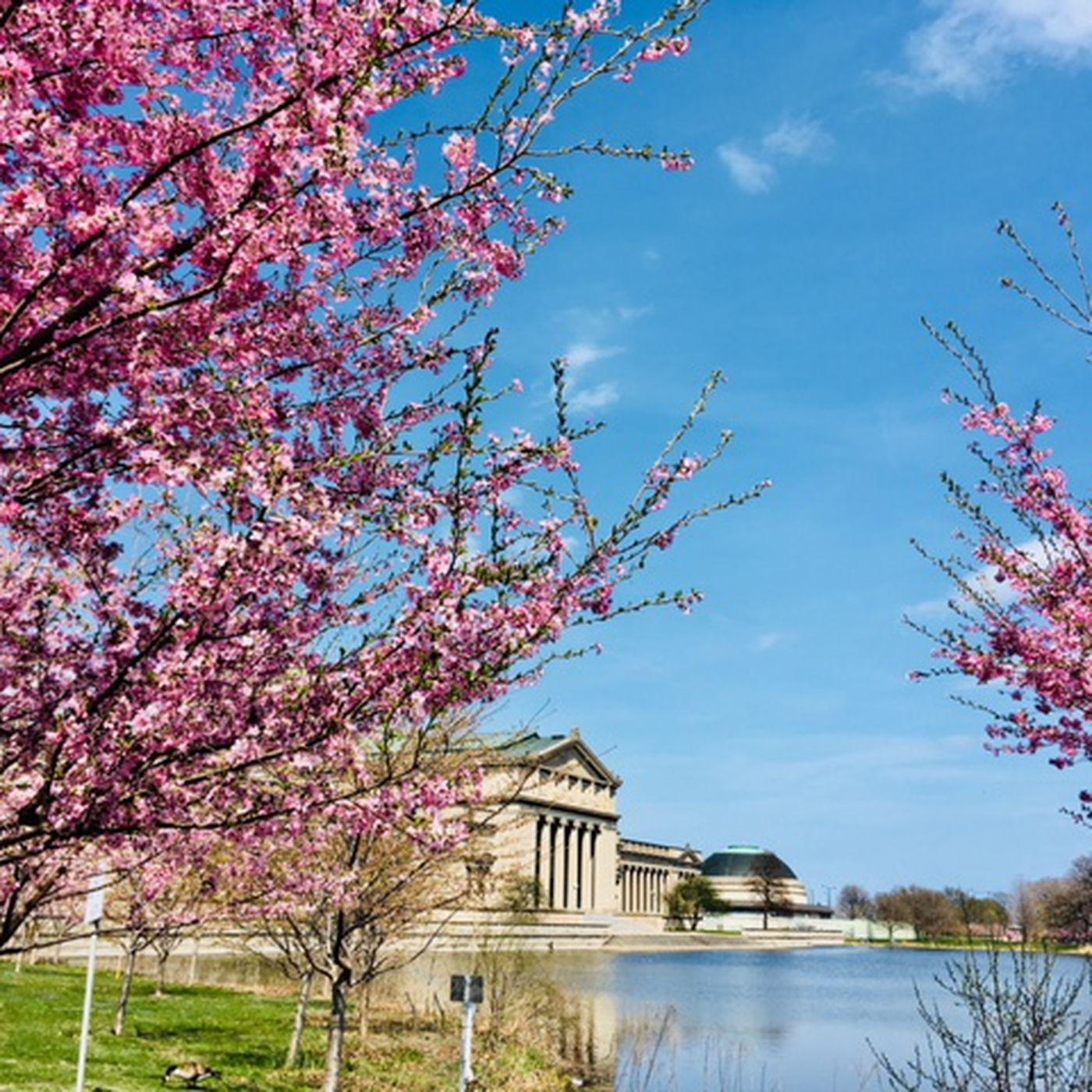 Flowering Cherry Trees For Sale Naturehills Com