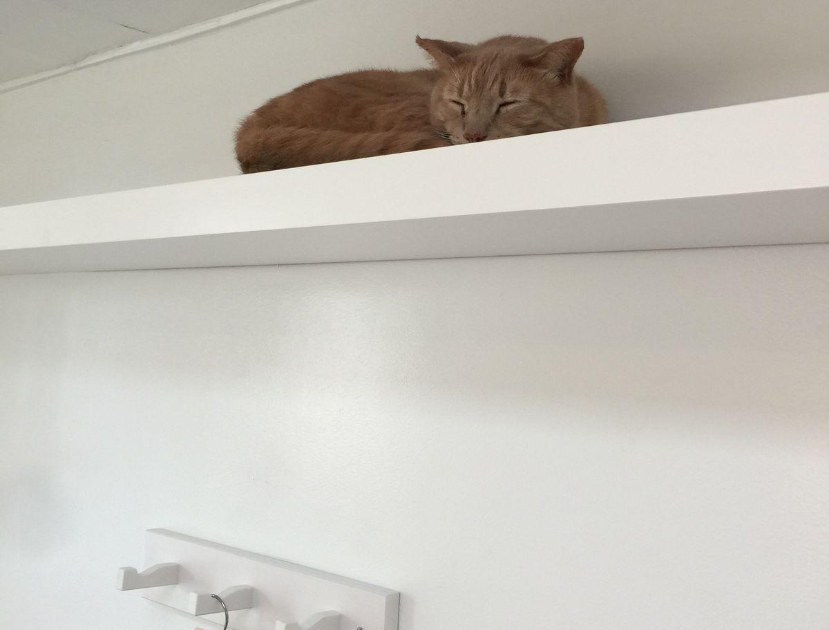 Cat on bookshelf perch