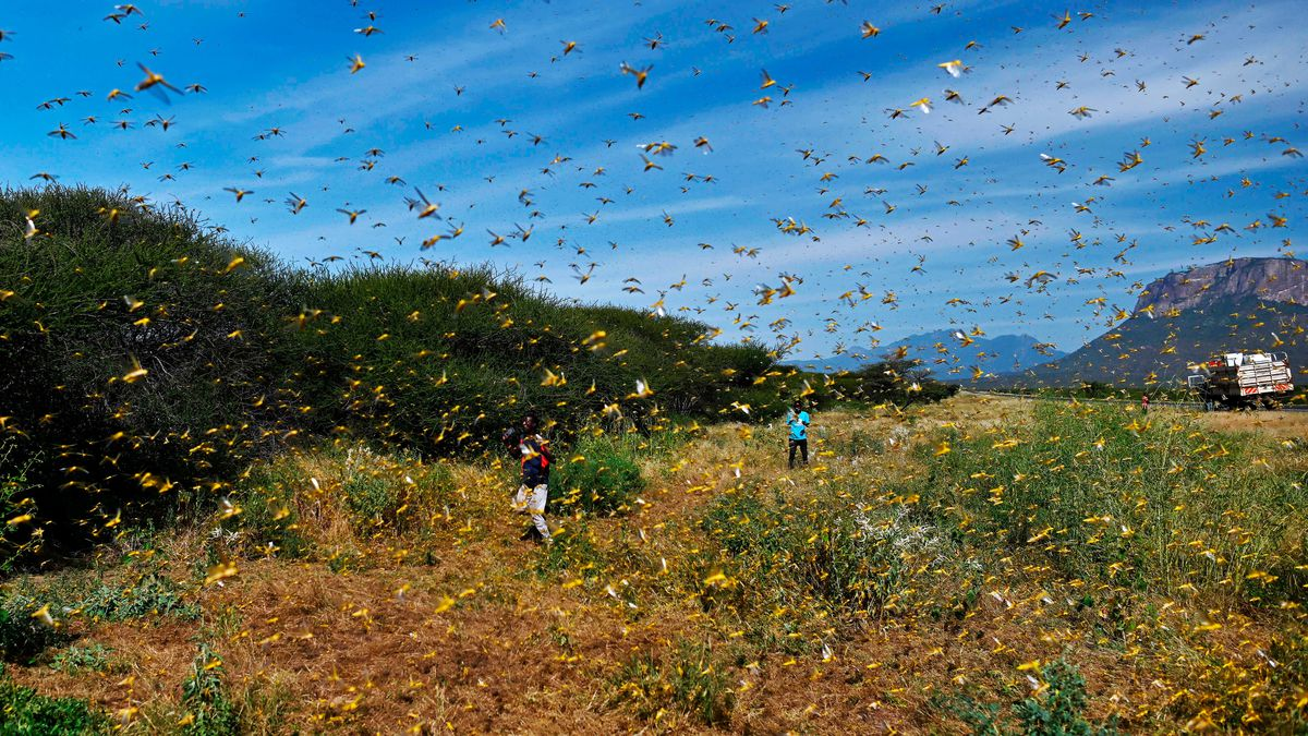 Locust plague: Africa and the Middle East see swarms devouring ...