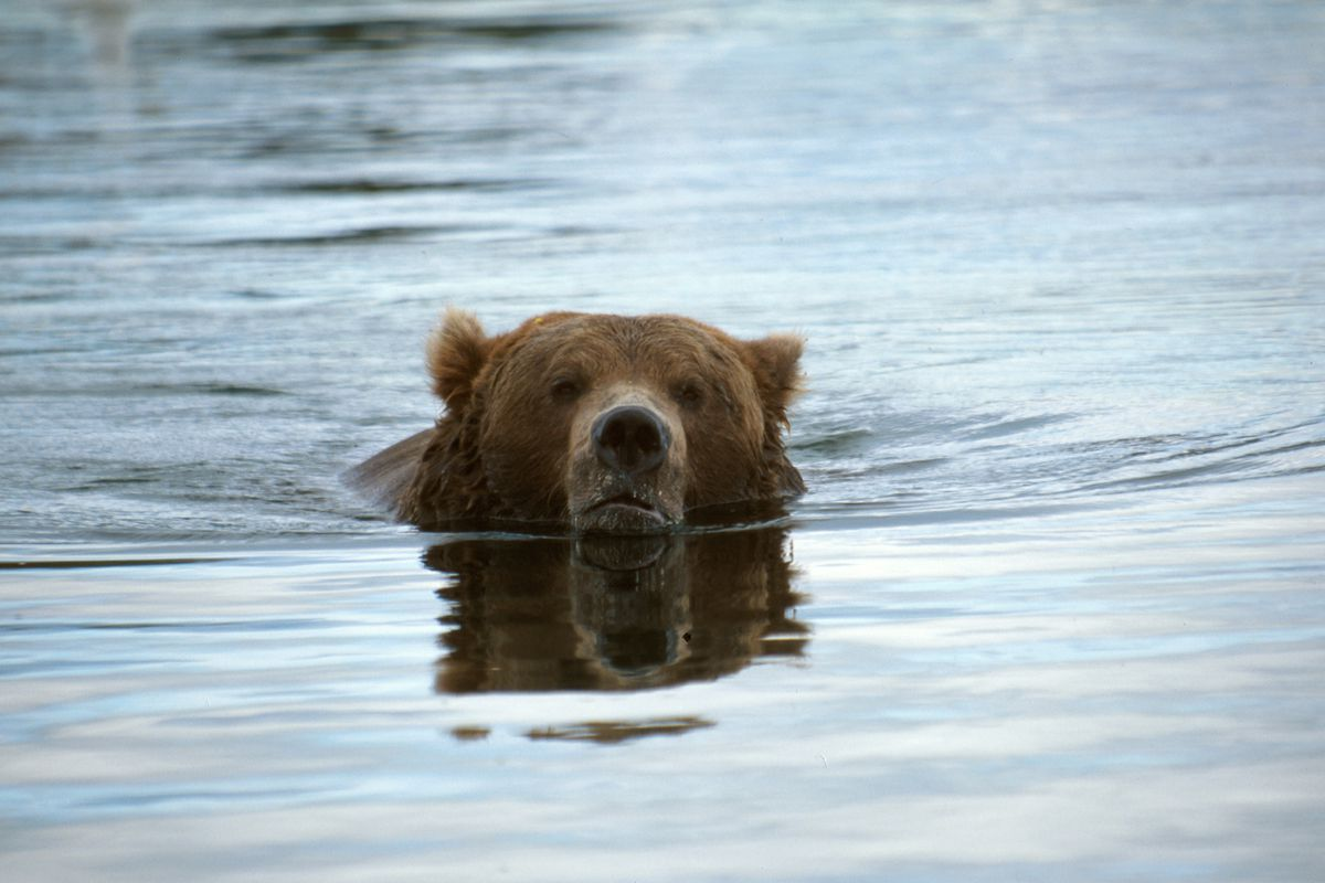 Brown Bear, Ursus arctos horribilis, floating and fishing for salmon in the river, Alaska