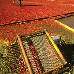 Bright crimson cranberry bogs are ready for harvest in New England.