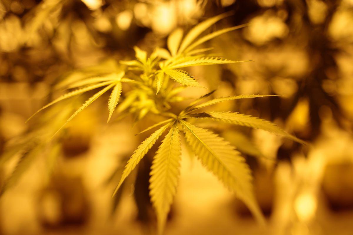 Marijuana in New York.