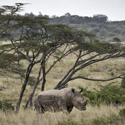 In this photo taken Thursday, Sept. 20, 2012, a white rhino grazes in Nairobi National Park, Kenya. Seeing a dire situation grow worse, the animal conservation group the World Wildlife Fund (WWF) enlisted religious leaders on Thursday, Sept. 20, 2012 in the fight to end the slaughter of Africa's elephants and rhinos by poachers, hoping that religion can help save some of the world's most majestic animals.