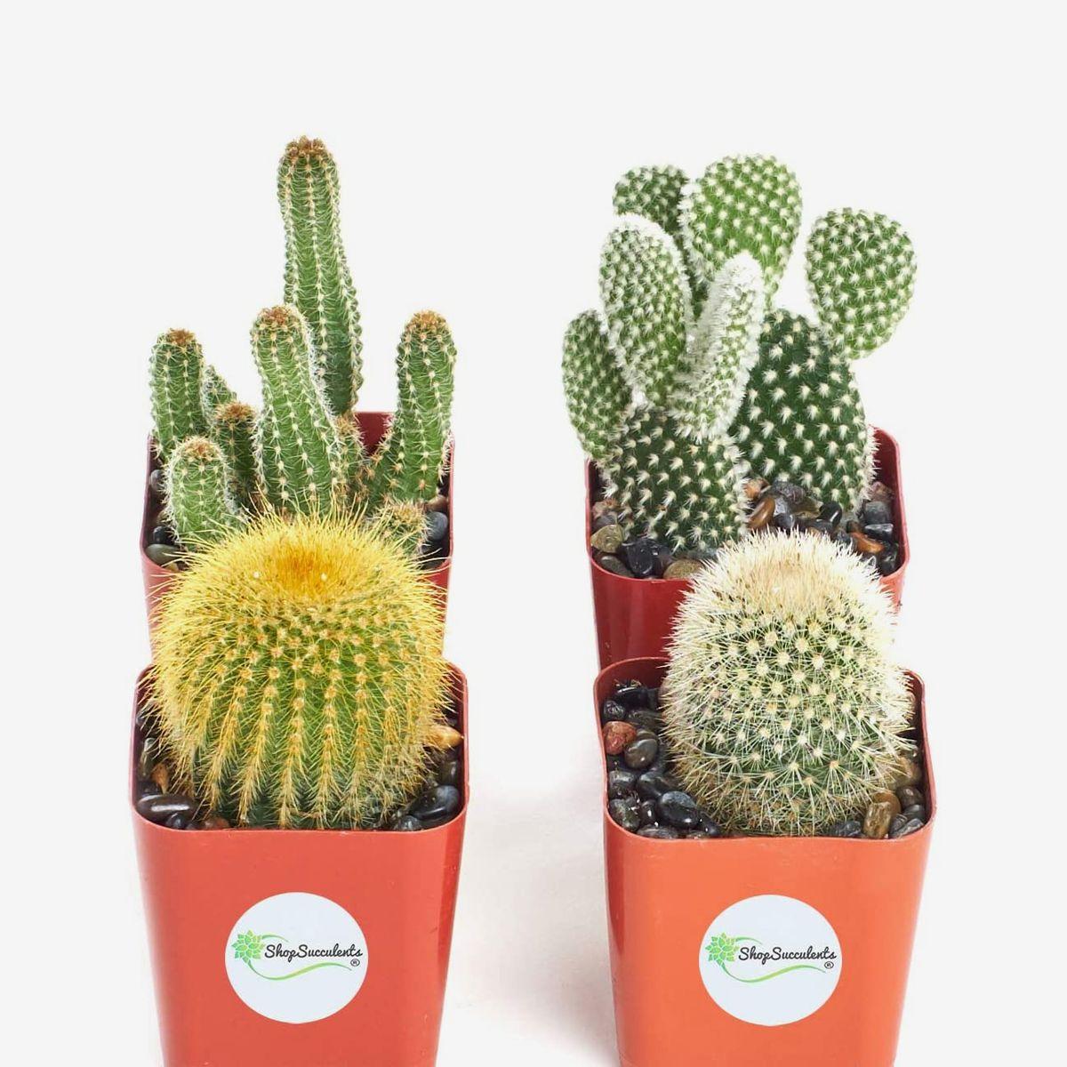 Squared terra cotta planters hold various cacti.