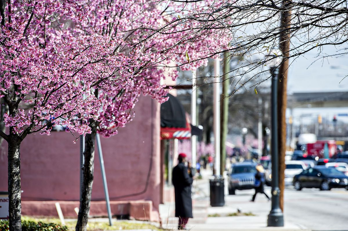 Trees are explosively floral in West End's commercial district right now.