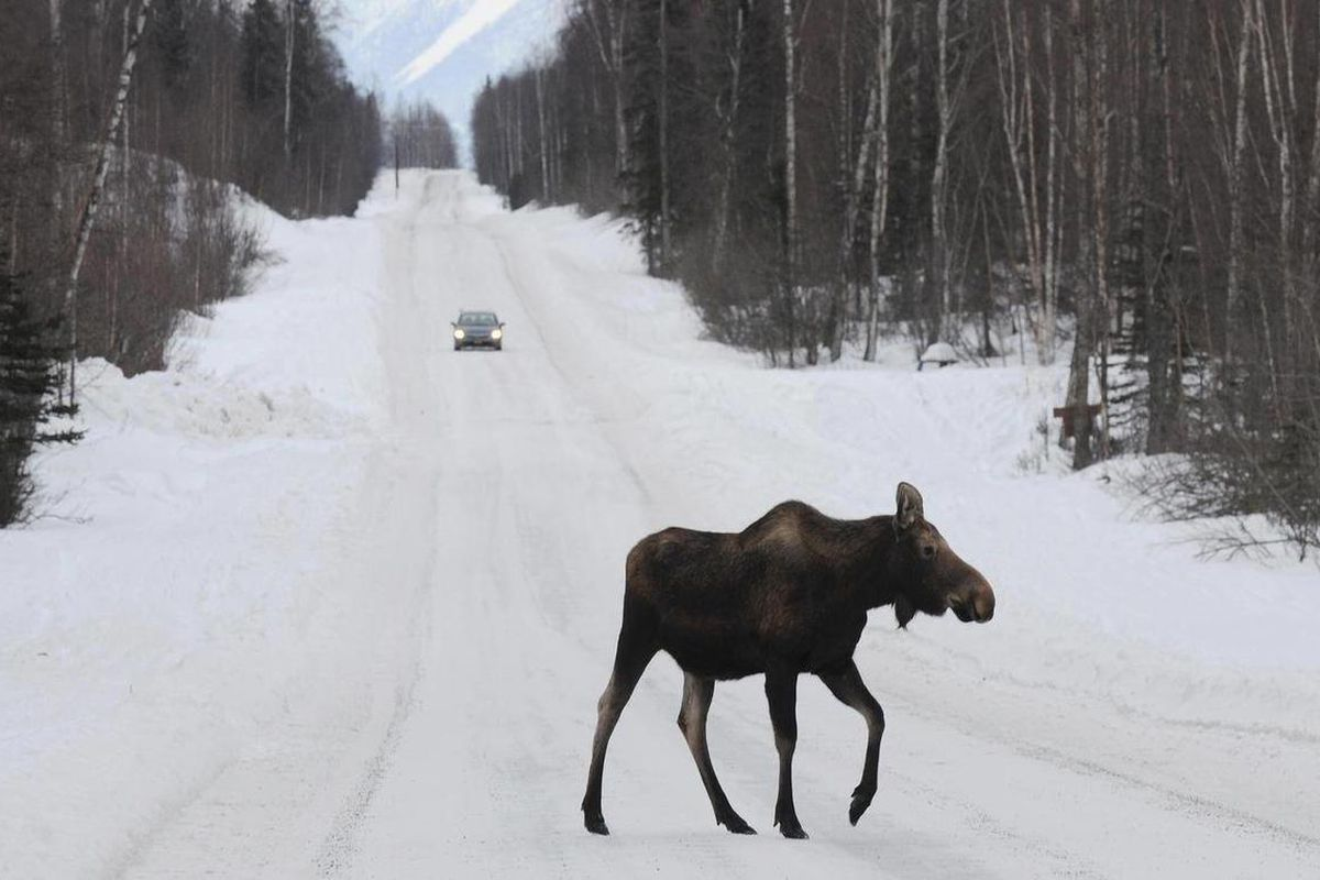 FILE - In this March 23, 2012 file photo, a moose crosses a road near Anchorage, Alaska.  A spring snowfall has broken the nearly 60-year-old seasonal snow record of Alaska's largest city.  Inundated with nearly double the snow they're used to, Anchorage