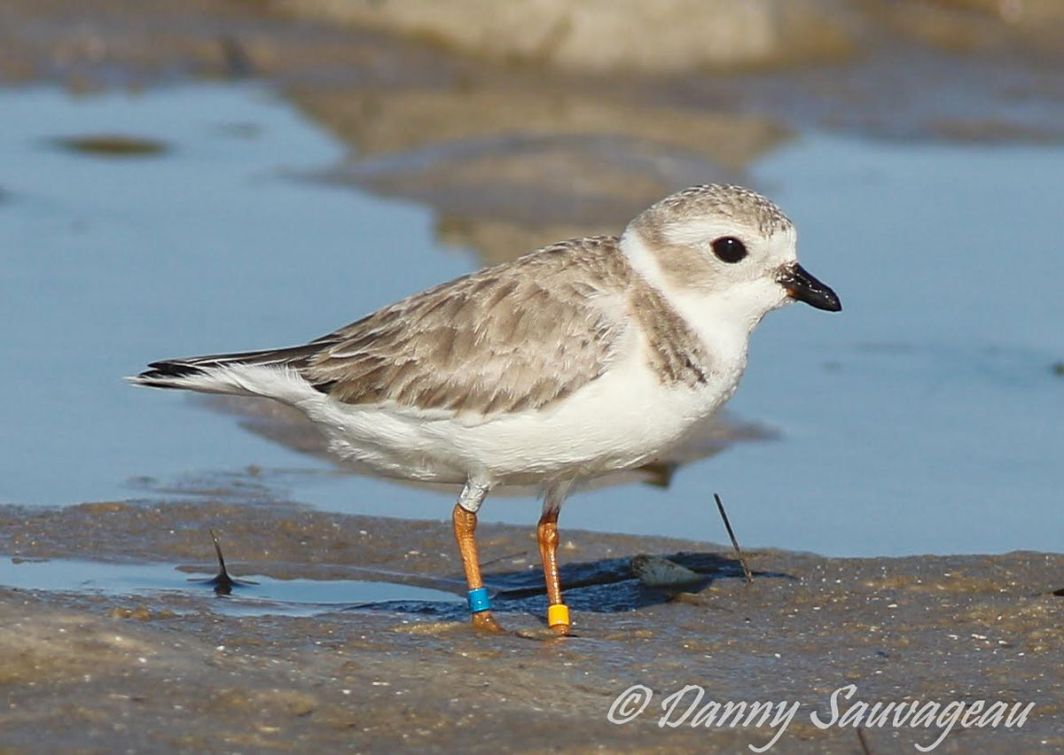 Rose the Piping Plover in Florida