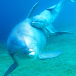 Keo, a 12-year-old dolphin, is shown with her newborn calf.