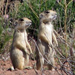This undated file photo provided by the U.S. Fish and Wildlife Service shows prairie dogs.