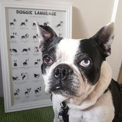 This April 2017 photo shows 12-year-old Boston terrier Boogie, owned by Los Angeles based artist Lili Chin. In the background is Chin's drawings of Boogie for a poster for her business Doggie Drawings, which specializes in custom pet portraits, dog art and infographics on dog behavior and training. (Lili Chin via AP)