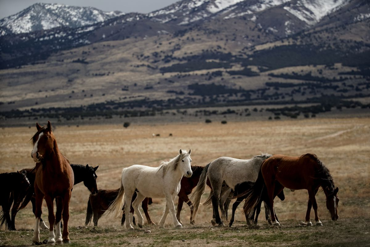 Wild horses of the Onaqui herd are pictured near Simpson Springs, in Tooele County, on March 20, 2020.