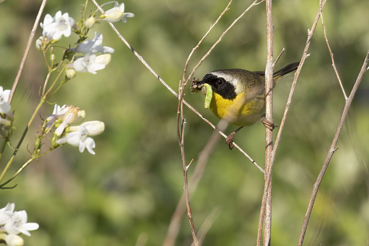 A common yellowthroat photographed in 2020 at Midewin National Tallgrass Prairie by volunteer Greg DuBois. Credit: Greg DuBois