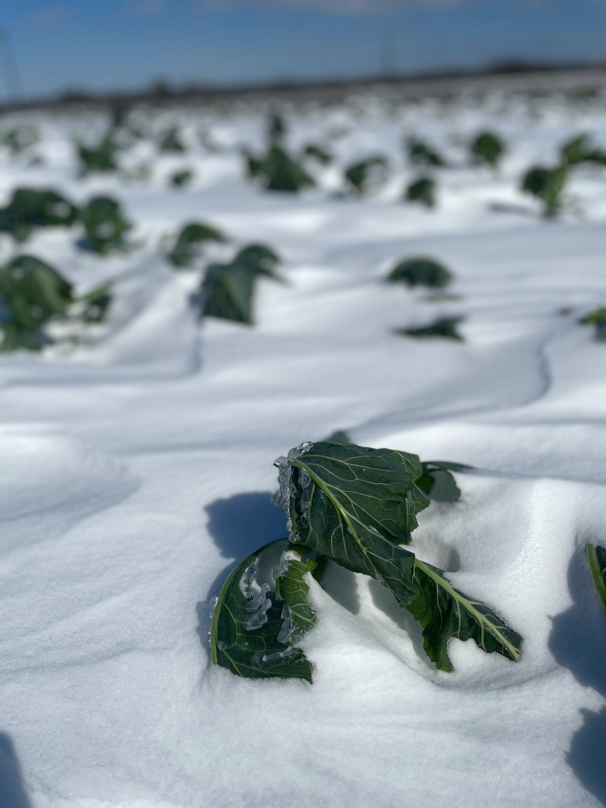 Kale covered in snow
