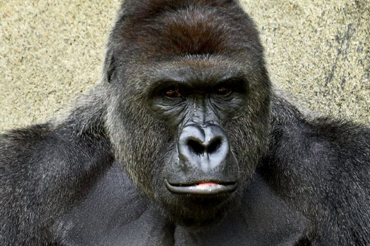 3c734850f2c9 Harambe the gorilla  the zoo killing that s set the internet on fire ...