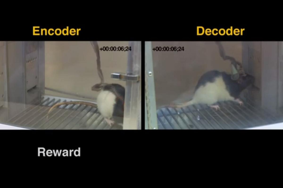 Rat mind meld experiment