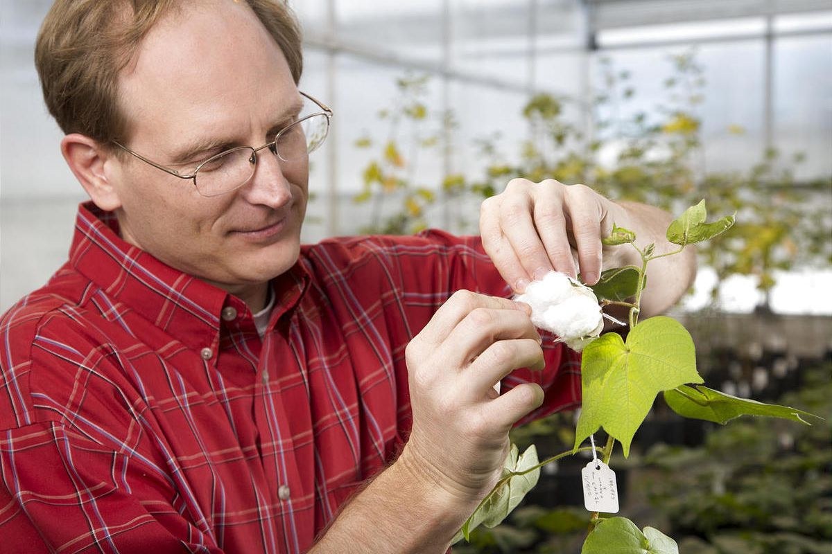 BYU professor Joshua Udall and his students have been unlocking the DNA secrets of cotton in an effort to improve the durability of cotton fiber and increase the plant's yield.