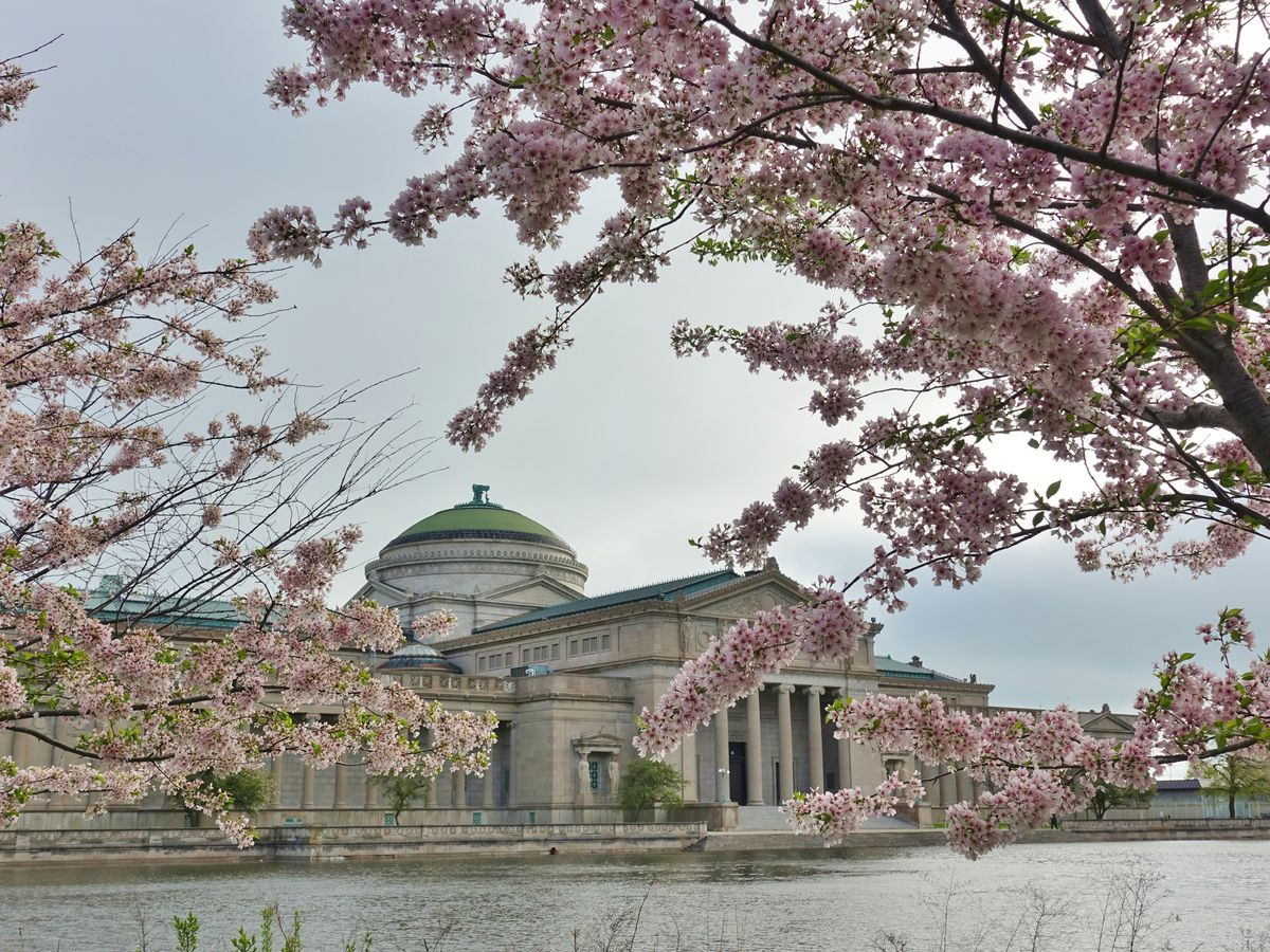 Cherry blossoms obstructed a waterfront view of a museum.