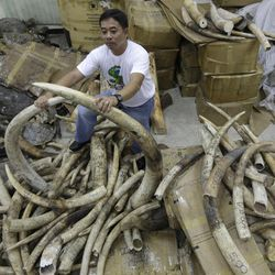 A staffer of the Department of Environment and Natural Resources-Protected Areas and Wildlife Bureau (DENR-PAWB) displays elephant tusks which were seized by Philippine customs authorities over a two-year period following failed smuggling attempts in the country, Wednesday Sept. 26, 2012, in Quezon city northeast of Manila. The tusks are to be shipped back to their port of origin, mostly from Tanzania, for destruction.