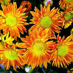 """Swedish botanist Karl Linnaeus coined the term """"chrysanthemums"""" by combining the Greek words meaning """"gold"""" and """"flower."""""""