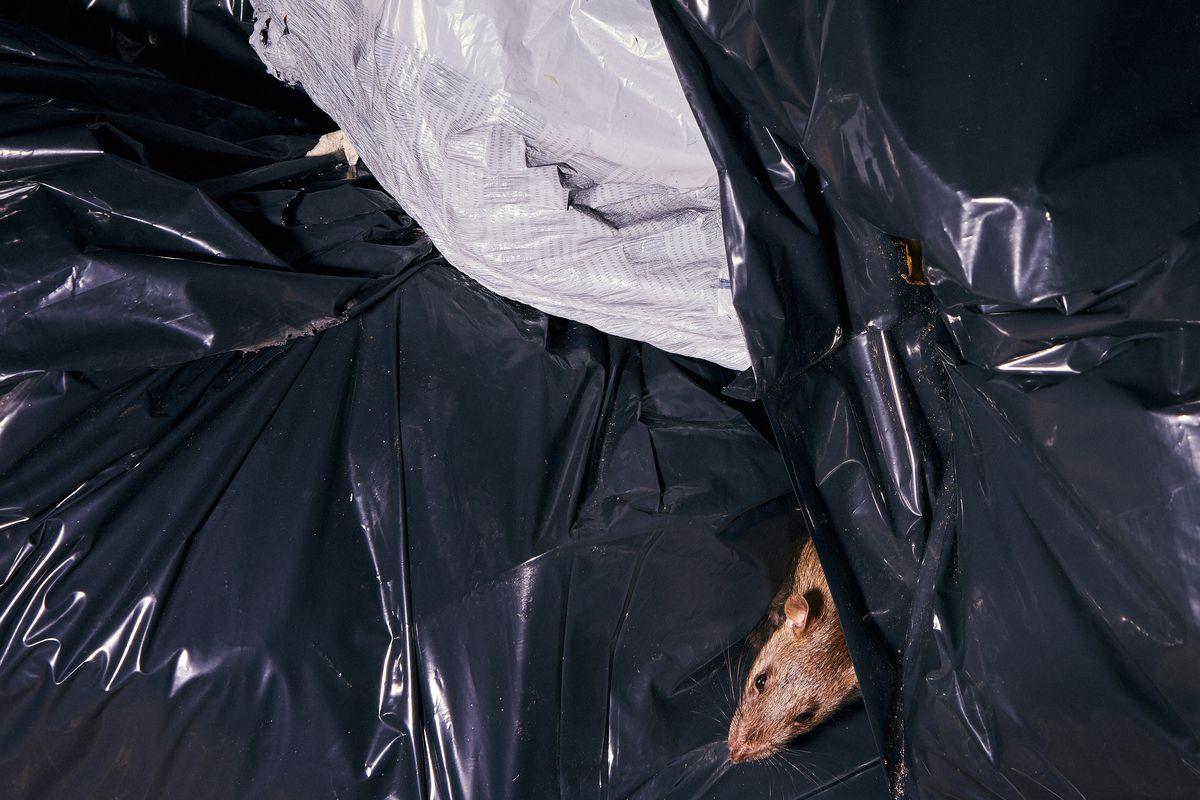 A rat enjoys trash day in Prospect Heights, Brooklyn, Nov. 11, 2019.