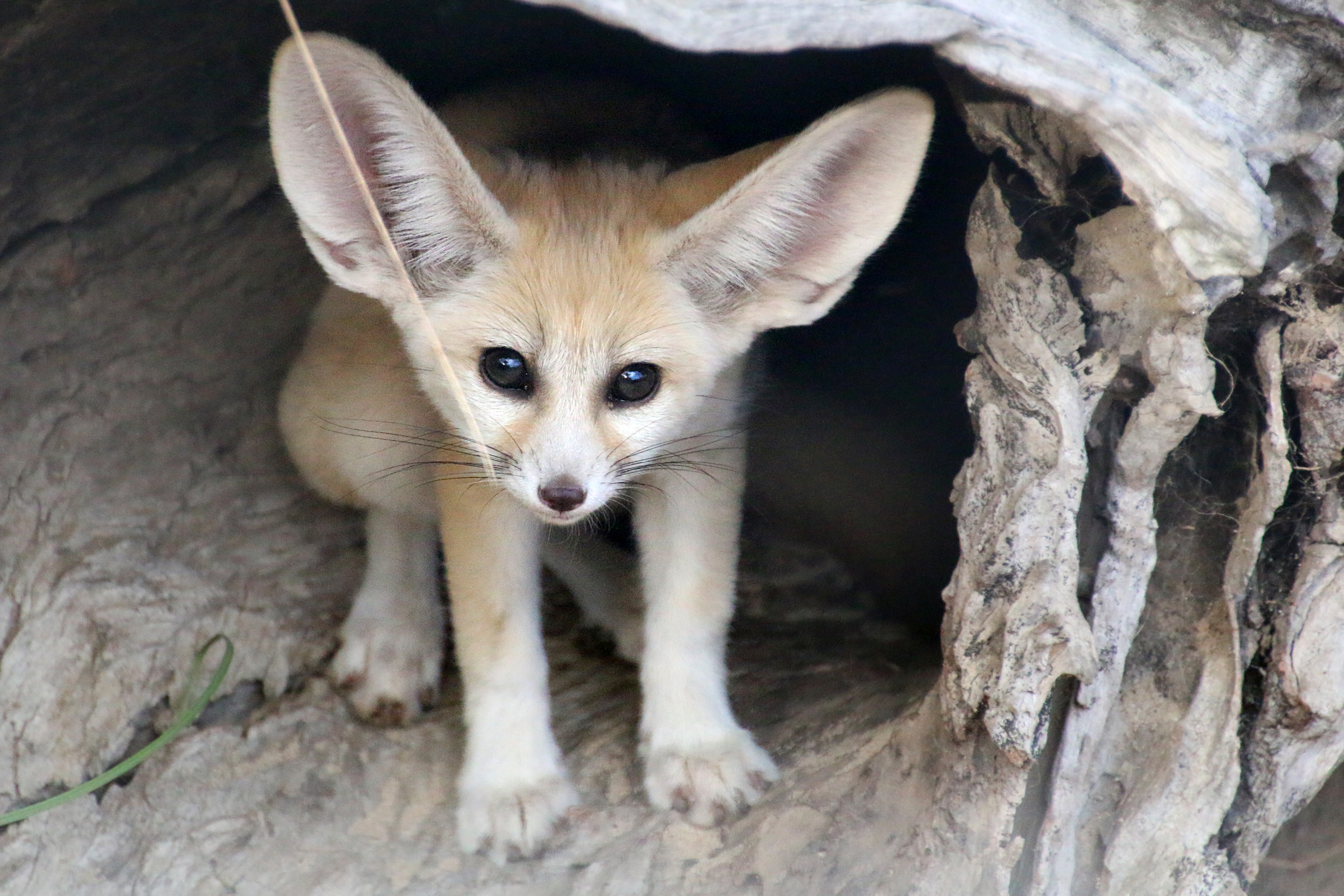 Fennec Fox Kit Born In Taronga Zoo
