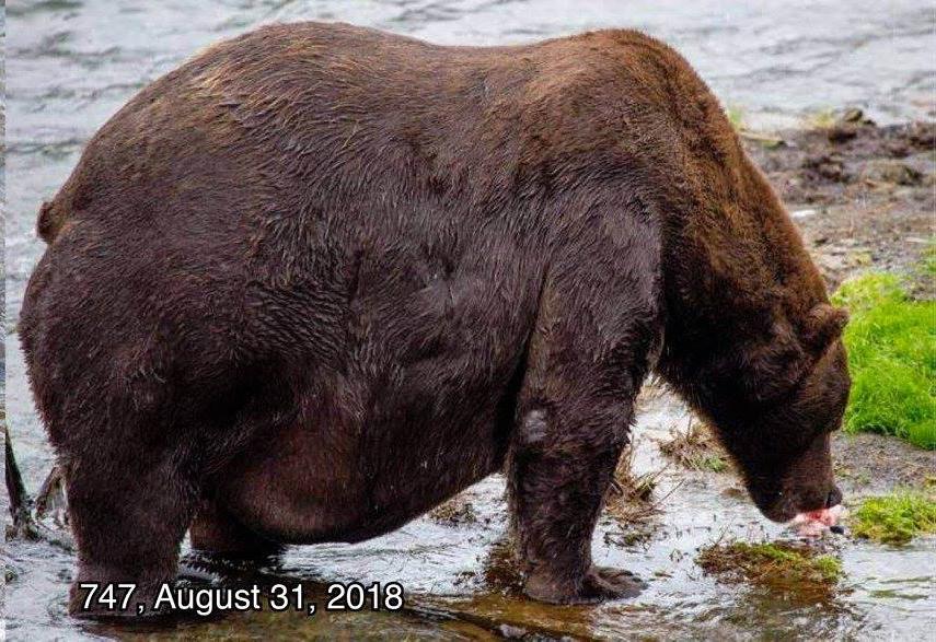 Fat Bear Week Beadnose Is Katmai National Park S Fattest