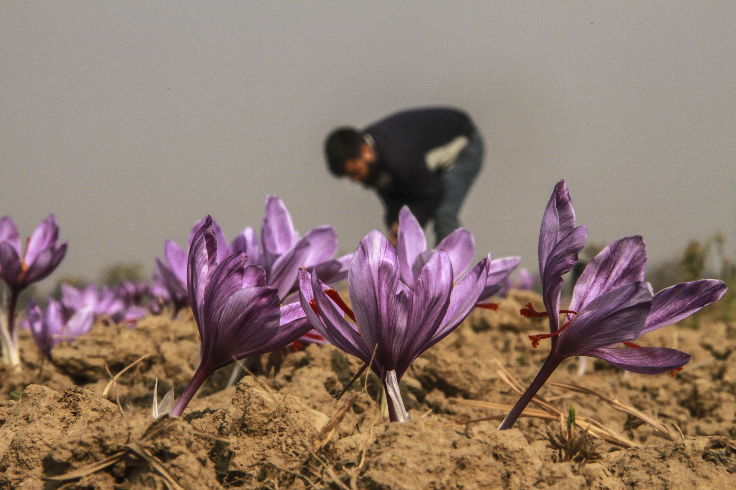 'This Land Is Meant Only for Saffron. Without It, It Means Nothing.'